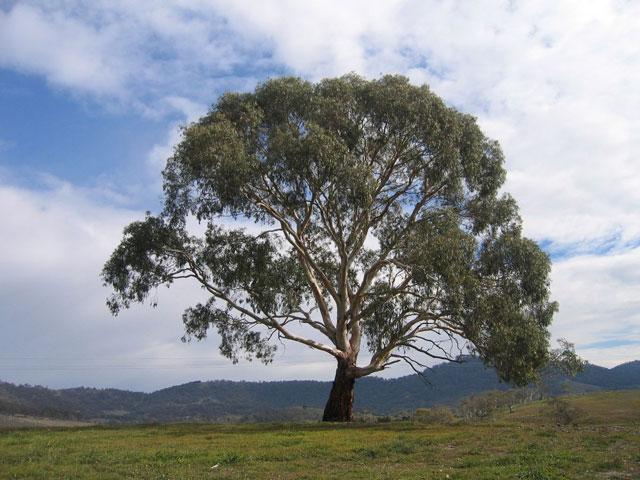 дерево эвкалипта
