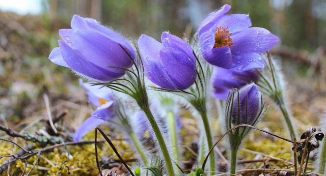цветы сон-травы