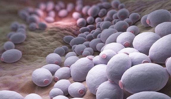грибы Candida под микроскопом