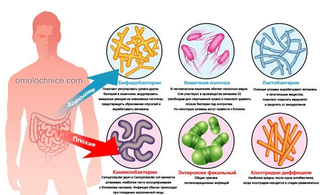 плохие и хорошие бактерии кишечника