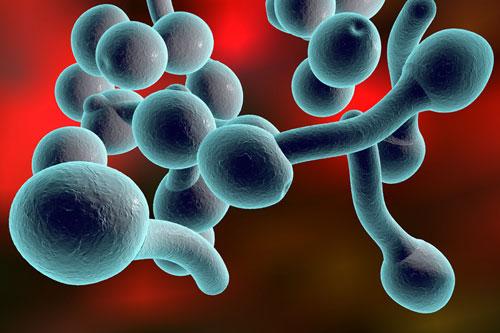 дрожжеподобные грибы Candida (3D-иллюстрация)