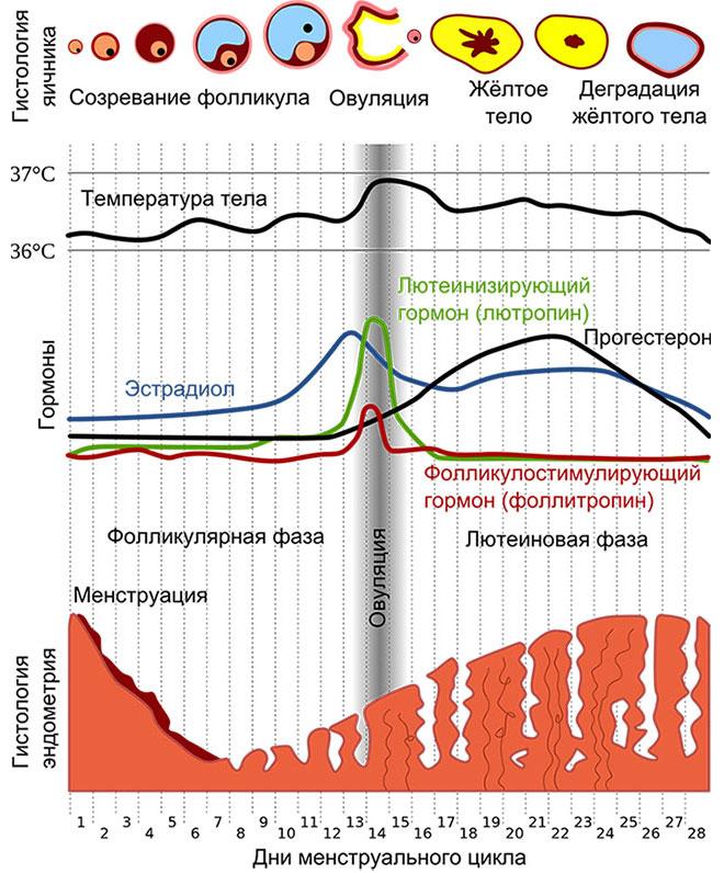 изменения в организме женщины в зависимости от фазы менструального цикла